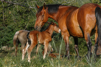 Newborn Wild Horse Foal and Mother #6