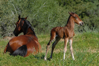 Newborn Wild Horse Foal and Mother #2