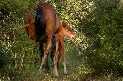 Newborn Wild Horse Foal and Mother #9