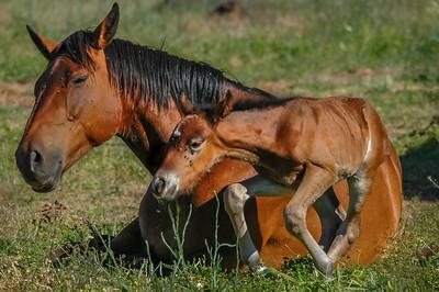 Newborn Wild Horse Foal on Wobbly Legs