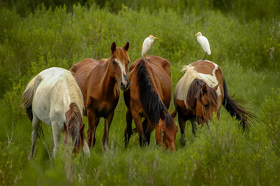 Wild Horses and Cattle Egrets #2