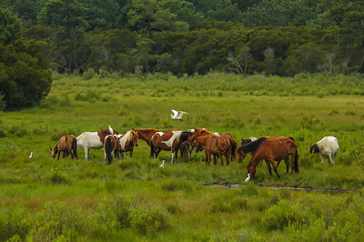 Wild Horses, Cattle Egrets, and Snowy Egret