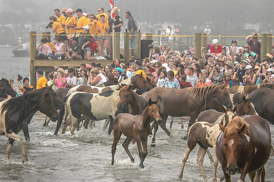 Chincoteague Island Pony Swim #5