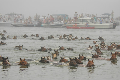 Chincoteague Island Pony Swim #1