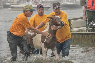 Chincoteague Island Pony Swim #8