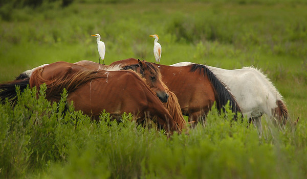 Wild Horses and Cattle Egrets #3