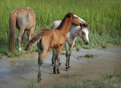 Foal Pair in Salt Marsh CI