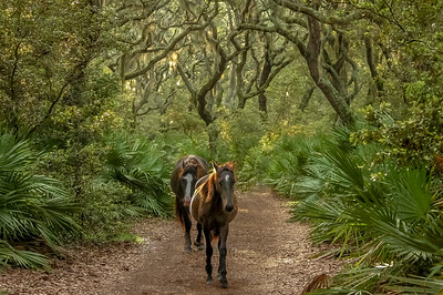 Wild Horses in Live Oak Forest