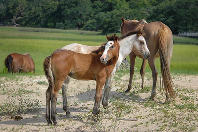 Foal Pair on Sand Dune CI