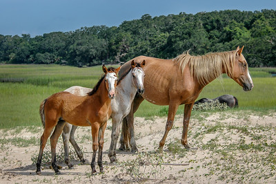 Foal Pair and Mare on Sand Dune CI