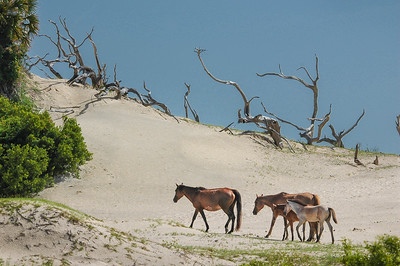 Wild Horses and Foals on Sand Dune #2