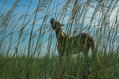 Wild Horse and Sea Oats #2