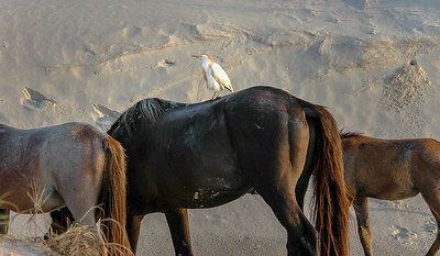 Wild Horse and Cattle Egret #3