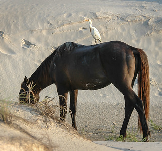 Wild Horse and Cattle Egret #2