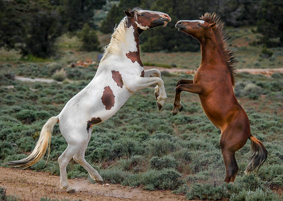 Wild Horse Bachelors Play Fighting #6