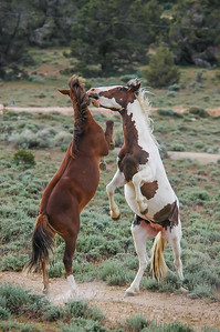 Wild Horse Bachelors Play Fighting #5