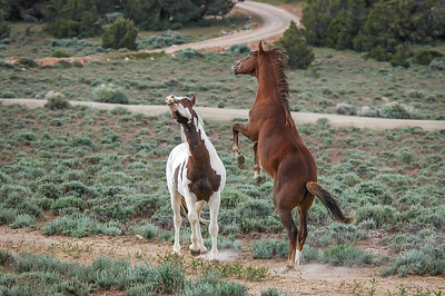 Wild Horse Bachelors Play Fighting #4