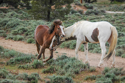 Wild Horse Bachelors Play Fighting #7