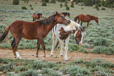 Wild Horse Bachelors Play Fighting #1