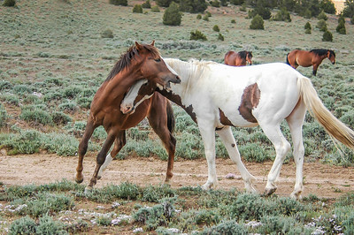Wild Horse Bachelors Play Fighting #2