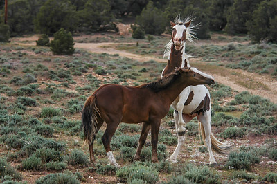 Wild Horse Bachelors Play Fighting #8