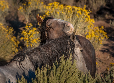 2 Wild Horses Interacting Near Route 6
