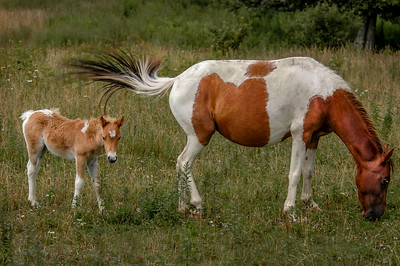 Wild Pony and Foal #2, MR