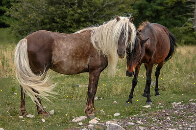 Wild Pony With Long Mane MR