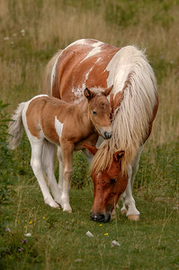 Wild Pony and Foal #3, MR