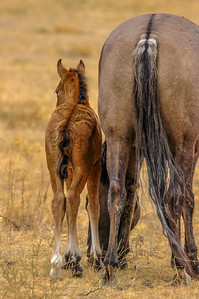 Wid Horse Mare and Foal From Behind