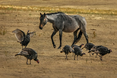 Wild Horse and Turkeys #1