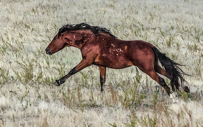 Scarred Wild Stallion Running