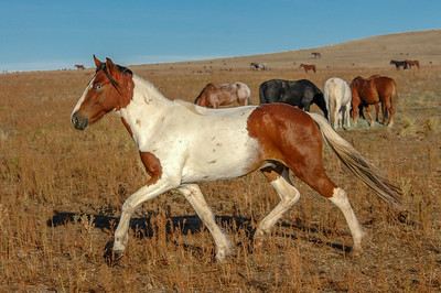 Blue-eyed Wild Paint Horse #6