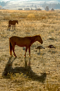 Wild Horse and Turkeys #3