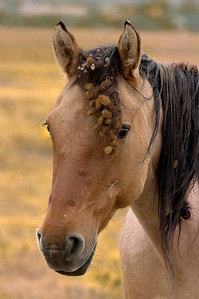 Wild Horse With Burrs In Mane #1