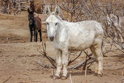 White Wild Burro