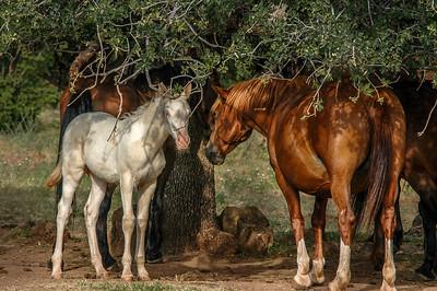 Albino Wild Horse Foal #4
