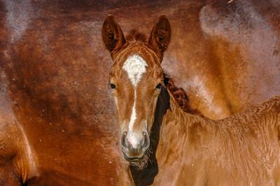 Wild Horse Foal  Face #1