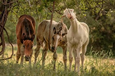 Albino Wild Horse Foal #2