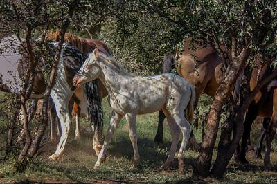 Albino Wild Horse Foal #3