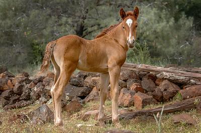 Wild Horse Foal #1