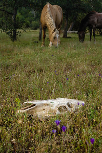 Horse Skull and Wild Horses