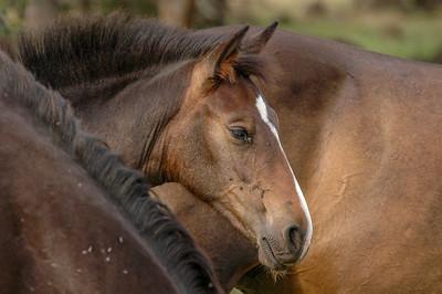 Wild Horse Foal  Face #2