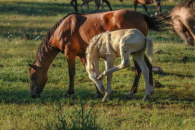 White Wild Horse Foal Scratching