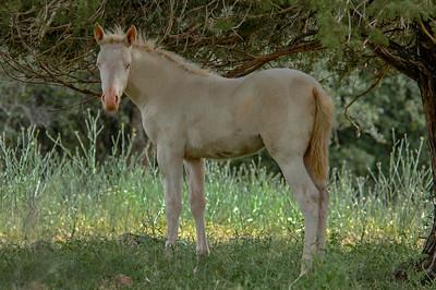 Albino Wild Horse Foal #1