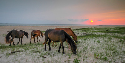 Wild Horses Grazing on Beach at Sunset #3