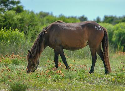 Wild Horse Grazing SB