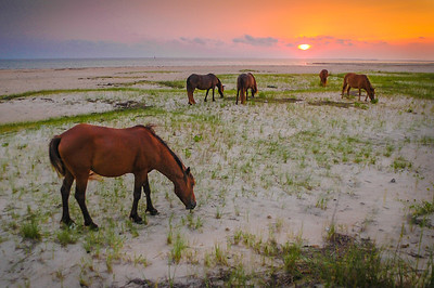 Wild Horses Grazing on Beach at Sunset #1