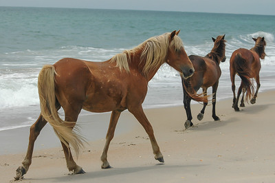 Wild Horses Walking on Beach