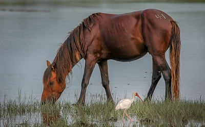 Wild Horse and American White Ibis